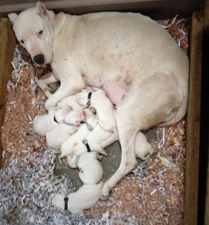dogo-argentino-mom-with-her-puppies